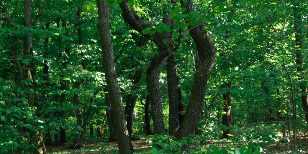 Hoia Baciu Haunted Forest Bended Trees